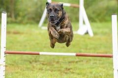 Psy ćwiczy sport zwinność zdjęcia royalty free