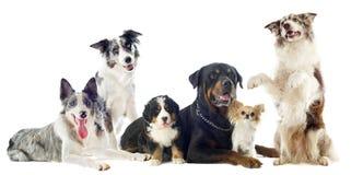 Psy zdjęcie royalty free