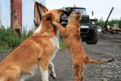 Psy bawić się Obrazy Royalty Free