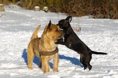psy bawić się dwa Zdjęcie Royalty Free