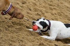 psy bawić się dwa Zdjęcie Stock
