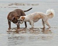 Psy bawić się na plaży Obraz Stock