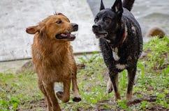 Psy bawić się przy jeziorem zdjęcia stock