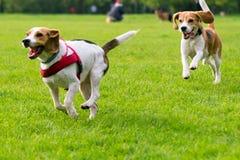 Psy bawić się przy parkiem Obrazy Stock