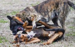 Psy bawić się szorstkiego w jardzie, psi szczekanie w ucho zdjęcie stock