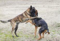 Psy bawić się szorstkiego w jardzie, wydają się ściskać obraz royalty free