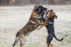 Psy bawić się szorstkiego w jardzie, wydają się opowiadają zdjęcia royalty free