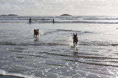 Psy bawić się w kipieli Zdjęcie Stock