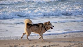 Psy bawi? si? na pla?y zdjęcia stock