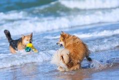 Psy bawić się na plaży Fotografia Royalty Free