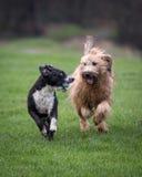 Psy biega i bawić się Obrazy Royalty Free