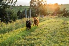 Psy biega w polu Zdjęcia Royalty Free