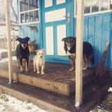 Psy czeka jedzenie Zdjęcie Stock