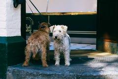 Psy czeka właściciela Zdjęcie Royalty Free