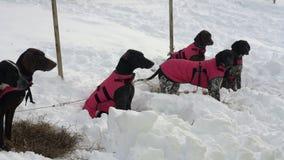 Psy euro ogara lub euro psa traken w ciepłych kamizelkach przed zimy skijor ścigać się zbiory