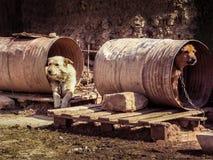 Psy jako niewolnicy Fotografia Royalty Free