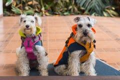 Psy jest ubranym żakiety zdjęcia royalty free