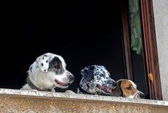 Psy na dwa nogach przy okno obraz stock