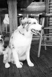 Psy odpoczywa na drewnianej podłoga w Key West, usa Fotografia Stock