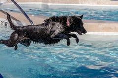 Psy Pływa publicznie basenu Obraz Royalty Free