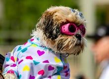 Psy Pływa publicznie basenu Fotografia Royalty Free