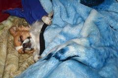 psy pozwolili kłamstwa śpi Fotografia Royalty Free