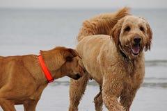 Psy przy plażą obrazy stock