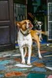 Psy są często szczęśliwi machać ogony powracających i skok na właściciela ` s domu obrazy royalty free