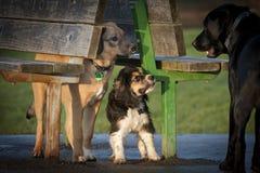 Psy spotyka each inny w parku Zdjęcie Stock