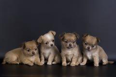 psy trochę Obrazy Stock
