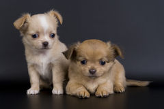 psy trochę Obraz Royalty Free