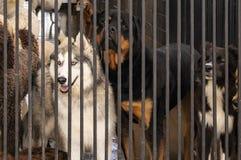 Psy w klatce wliczając Syberyjskiego husky patrzeje wistfully za od za kratkami przy psiny daycare z niebieskimi oczami - obrazy stock