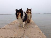 Psy w mgle na bożych narodzeniach Fotografia Stock