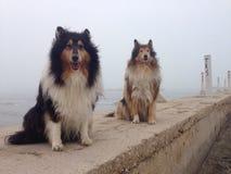 Psy w mgle na bożych narodzeniach Obraz Royalty Free