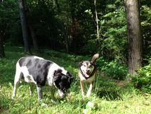 Psy w polu Obrazy Stock
