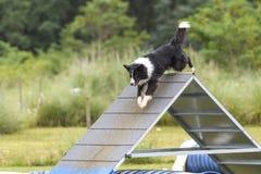 Psy w zwinności rywalizaci Zdjęcie Stock