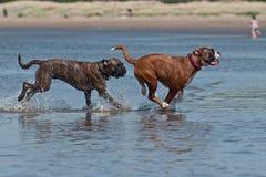 Psy walczy na plaży Obraz Stock