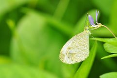 Psyche butterfly. Of Thailand background Stock Images