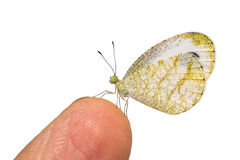The Psyche butterfly Royalty Free Stock Photos