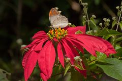 Psyche butterfy sucking nectar. Psyche butterfly Leptosia nina, sucking nectar from fully bloomed red flower. Image shot in a forest, sikkim, India Stock Image