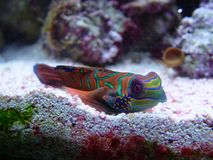 Psychedelic Dragonet. Marine mandarin fish, brightly coloured Stock Images