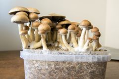 Psychedelic magic mushrooms growing at home, cultivation of psilocybin mushrooms. In cake stock photos