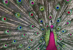 Psychedelic Peacock 1 Royalty Free Stock Images