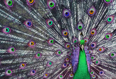 Psychedelic Peacock 1 Royalty Free Stock Photos