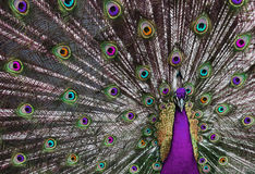 Psychedelic Peacock 1 Royalty Free Stock Photography