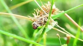 Psychidae в bagworms видеоматериал