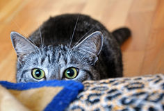 Psycho cat 2 Stock Photography