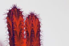 Psychodeliczny kaktusowy typ San Pedro w żywych kolorach na białym backg zdjęcia royalty free