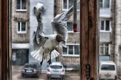 Psychopath bird. Some birds were moved to be knocked on a window in the spring. Never such was Royalty Free Stock Photos
