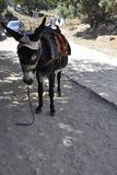 Psychro, august 29th: Donkey for trip to the Cave of Zeus in Dikti mountains from Crete island of Greece. Donkey for trip to the Cave of Zeus in Dikti mountains royalty free stock photography